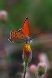 borboletas da Cobre-borboleta Imagens de Stock Royalty Free
