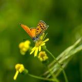 borboletas da Cobre-borboleta Fotografia de Stock Royalty Free