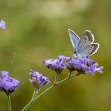 borboletas da Cobre-borboleta Fotos de Stock Royalty Free