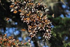 Borboletas de monarca da migração Imagens de Stock