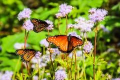 Borboletas de monarca em flores roxas Fotos de Stock