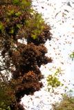 Borboletas de monarca em uma árvore em Valle de Bravo imagem de stock