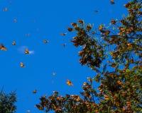 Borboletas de monarca no ramo de árvore no fundo do céu azul imagem de stock