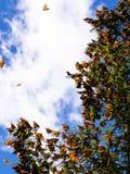 Borboletas de monarca no ramo de árvore no fundo do céu azul imagens de stock royalty free