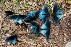 Borboletas de Pipevine Swallowtail fotos de stock royalty free