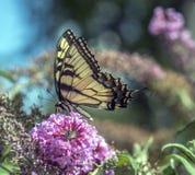 Borboletas de Pipevine Swallowtail fotografia de stock