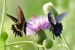 Borboletas de Swallowtail em uma flor de cesta imagens de stock