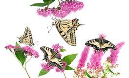 Borboletas em uma flor cor-de-rosa isolada no branco Borboleta de Swallowtail, machaon de Papilio imagem de stock royalty free