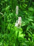 Borboletas em uma flor em um campo nos ribeiros de Olenyi do parque natural na região de Sverdlovsk imagens de stock