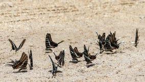 Borboletas orientais do swallowtail do tigre que sentam-se na terra fotografia de stock