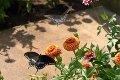Borboletas pretas de Swallowtail imagem de stock
