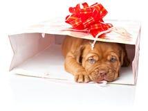 bordów De Dogue francuski mastifa szczeniak zdjęcie royalty free