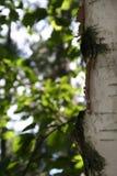 Bord d'un arbre de bouleau Photographie stock libre de droits