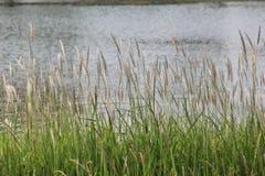 Bord de lac de champ d'herbe Photos stock