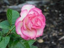 Borda cor-de-rosa Rosa branca da manhã imagem de stock