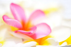 Borda da pétala cor-de-rosa do Frangipani Imagem de Stock Royalty Free