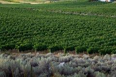 Borda de um vinhedo com as vinhas das fileiras Fotos de Stock Royalty Free