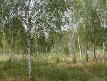 Borda do bosque do vidoeiro foto de stock