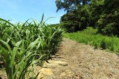 Borda do campo de milho Imagens de Stock