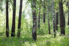 Borda ensolarada da grama do verão da floresta das árvores Imagens de Stock Royalty Free