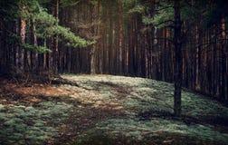 Borda, musgo e pinho da floresta Paisagem da floresta da floresta do pinho Imagem de Stock Royalty Free