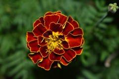Borde amarillo de la flor Imágenes de archivo libres de regalías