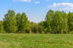 Borde de los abedules del bosque del verde de la primavera Imagenes de archivo