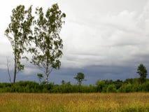 borde de los prados del abedul con los cielos cubiertos Foto de archivo libre de regalías