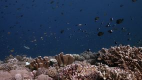 Borde de un arrecife de coral con los pescados 4k de la abundancia almacen de metraje de vídeo
