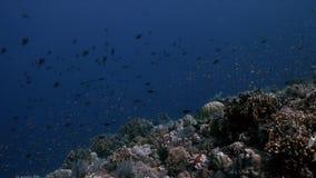 Borde de un arrecife de coral con los pescados 4k de la abundancia metrajes