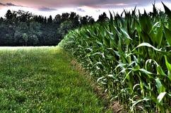 Borde de un campo de maíz Imágenes de archivo libres de regalías