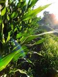 Borde de un campo de maíz en la puesta del sol, cerca de Liverpool, Pennsylvania foto de archivo