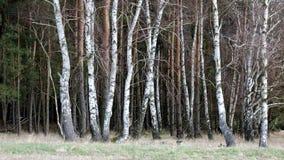 Borde de la madera de abedul en el prado Imágenes de archivo libres de regalías