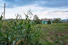 Borde del campo de maíz y de la casa rural Imágenes de archivo libres de regalías