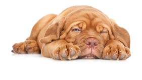bordeaux de dogue法国大型猛犬小狗 库存图片