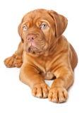 bordeaux de dogue法国大型猛犬小狗 库存照片