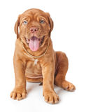 bordeaux de dogue法国大型猛犬小狗 免版税库存图片