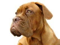 Bordeaux dog. Dog isolated on white background Royalty Free Stock Image