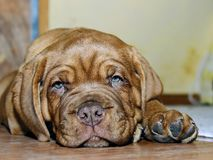 Bordeaux Dog Puppy - French Mastiff - Eight Weeks. Funny Stock Photography