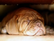Bordeaux Dog Puppy - French Mastiff - Eight Weeks. Funny Royalty Free Stock Photos