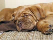 Bordeaux Dog Puppy - French Mastiff - Eight Weeks. Funny Stock Images