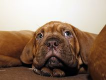 Bordeaux Dog Puppy - French Mastiff - Eight Weeks. Funny Stock Photo