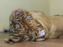 Bordeaux Dog Puppy - French Mastiff - Eight Weeks. Funny Stock Image