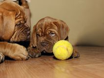 Bordeaux Dog Puppy - French Mastiff - Eight Weeks. Funny Royalty Free Stock Images