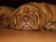 Bordeaux Dog Puppy - French Mastiff - Eight Weeks. Funny Royalty Free Stock Photo
