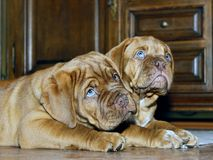 Bordeaux Dog Puppy - French Mastiff - Eight Weeks. Funny Royalty Free Stock Photography