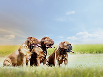 Bordeaux Dogs - French Mastiff - Grandmother and Mother and Daughter royalty free stock photography