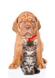 Bordeaux dogue puppy and maine coon cat sitting together. isolated on white Stock Photo
