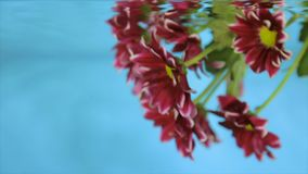 Flower in transparent water on a blue background. Bordeaux flower in clear water on a blue background stock footage