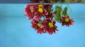 Flower in transparent water on a blue background. Bordeaux flower in clear water on a blue background stock video